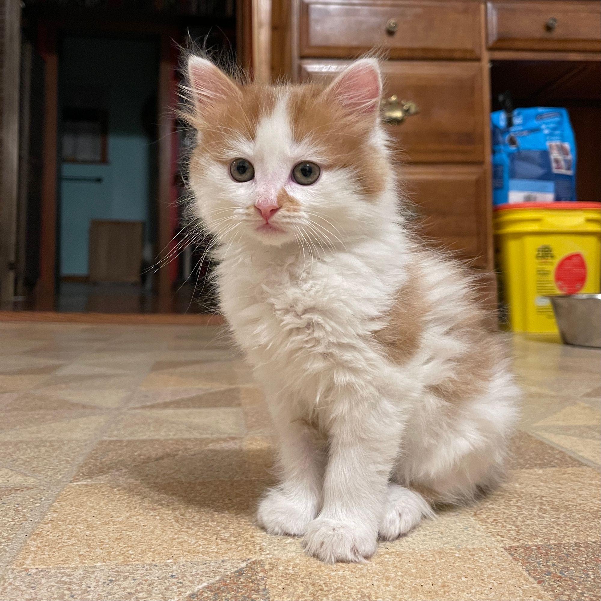 White and tan kitten!